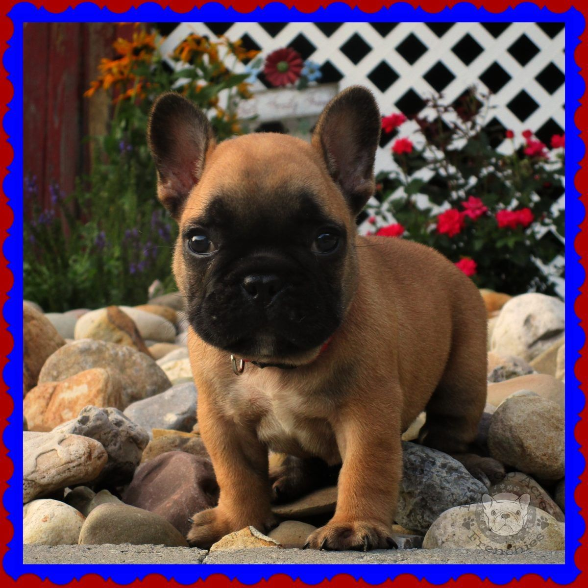 Available Puppies Hilltop Acres Frenchies Bulldog Puppies