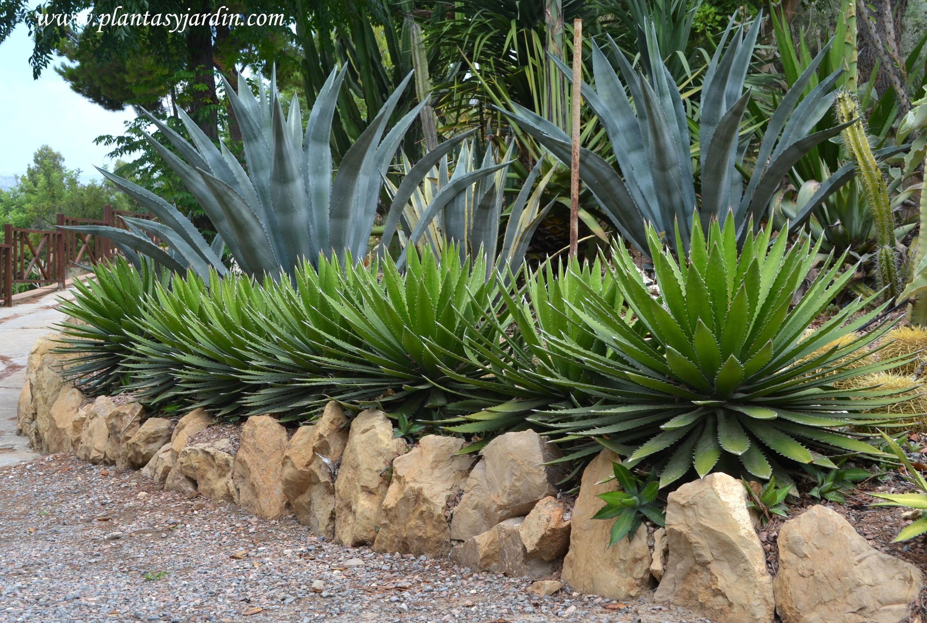 Los agaves son ideales para jardines xer filos de bajo for Matas de jardin