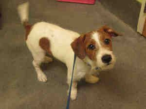Puddy Is An Adoptable Jack Russell Terrier Parson Russell Terrier