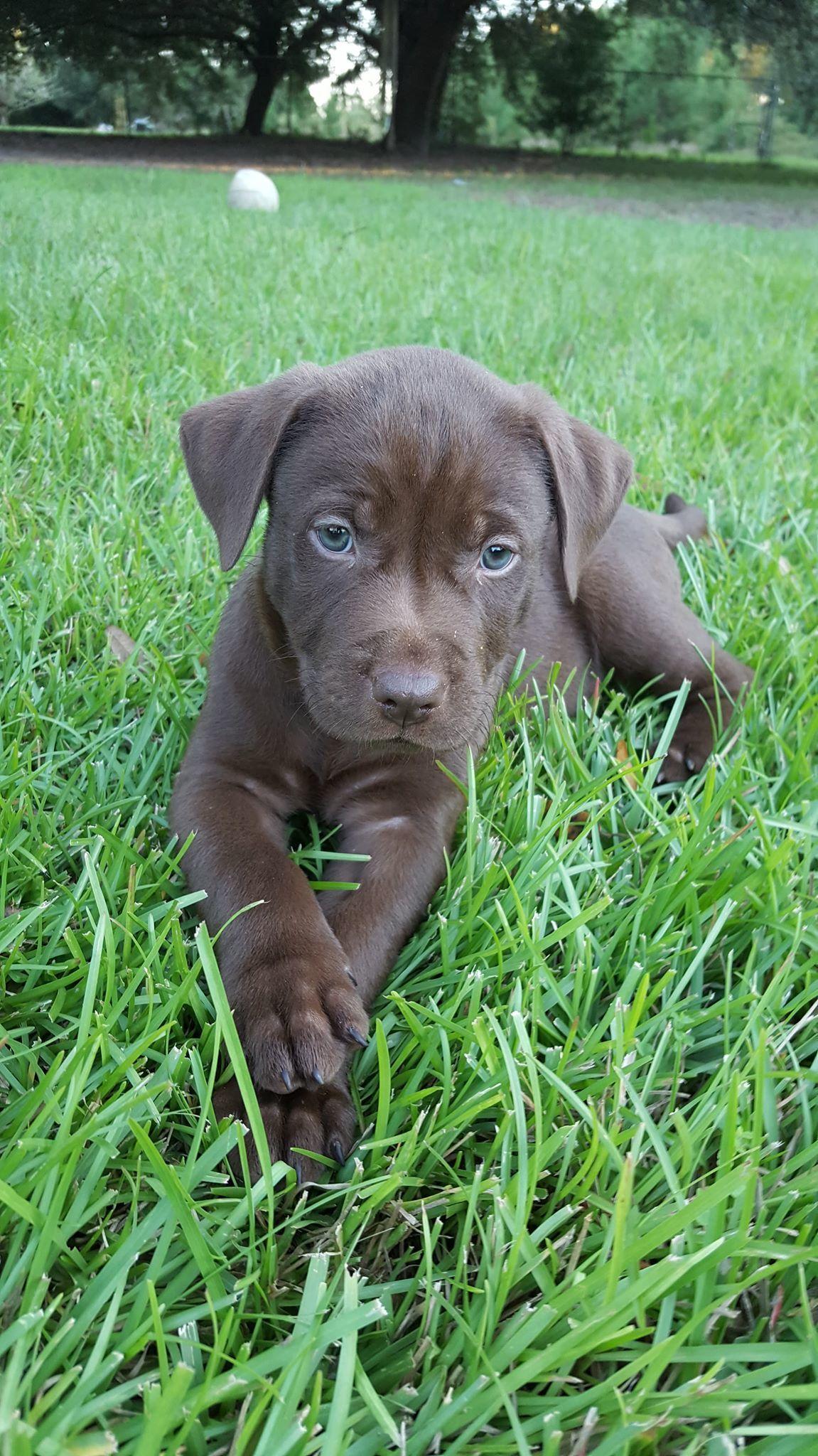 Adopted Tigger Labrador Retriever Waitsfield Vt 2 Months