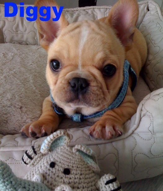Bluegrass Frenchies Of Berea Ky French Bulldog French Bulldog