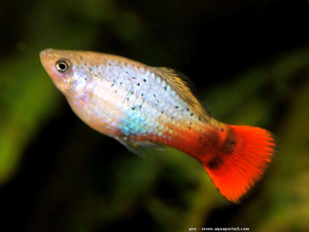 Xiphophorus Variatus Platy Perroquet Aquarium Fish Tropical Fish Aquarium Fresh Water Fish Tank