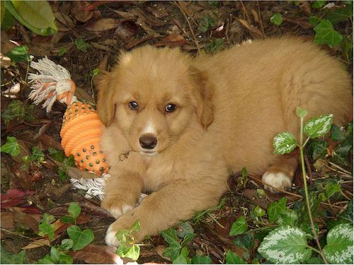 Nice Nova Scotia Duck Tolling Retriever Dog photos - http://www.7tv.net/nice-nova-scotia-duck-tolling-retriever-dog-photos-2/