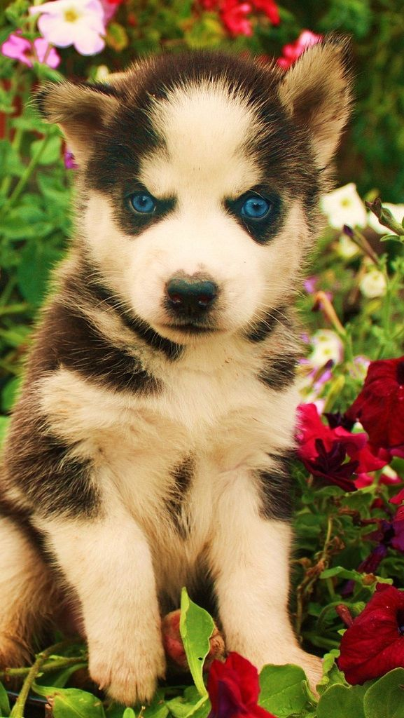 dogs_husky_face_flowers_baby_53621_640x1136