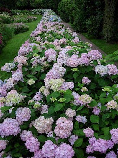 Pin By Ellen Bounds On Hydrangias Hydrangea Not Blooming Planting Hydrangeas Hydrangea