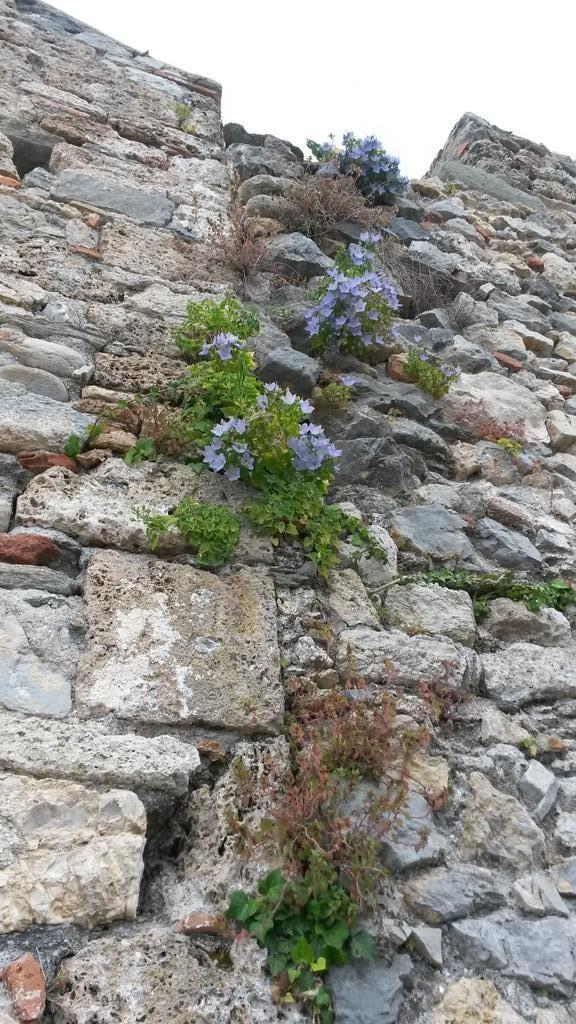 Twitter / @amicisanlorenzo  #fioridiriviera campanula isophylla sul muro della chiesa medioevale di San Lorenzo #varigotti #visitriviera
