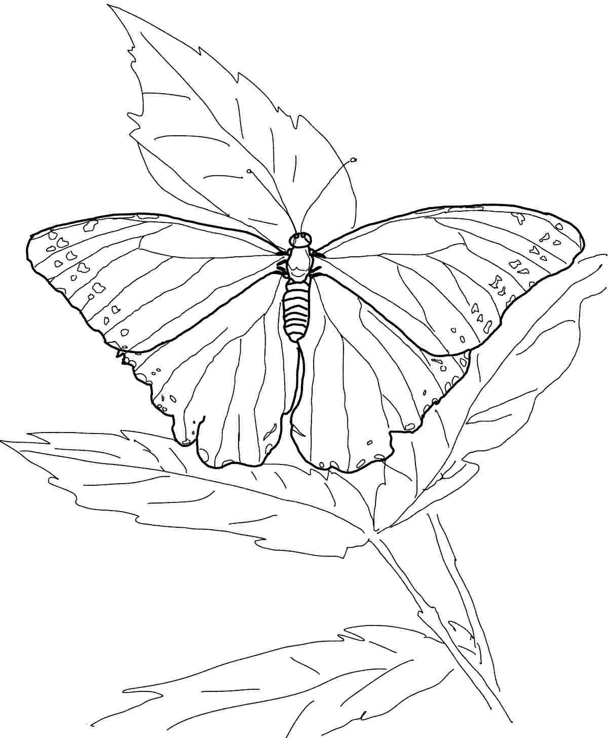 Pictures of monarch butterflies for coloring - Monarch Butterfly Drawing Google Search