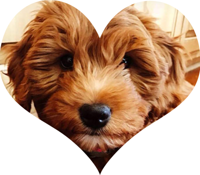 Meet our Goldendoodle Parent Dogs High Quality Mini