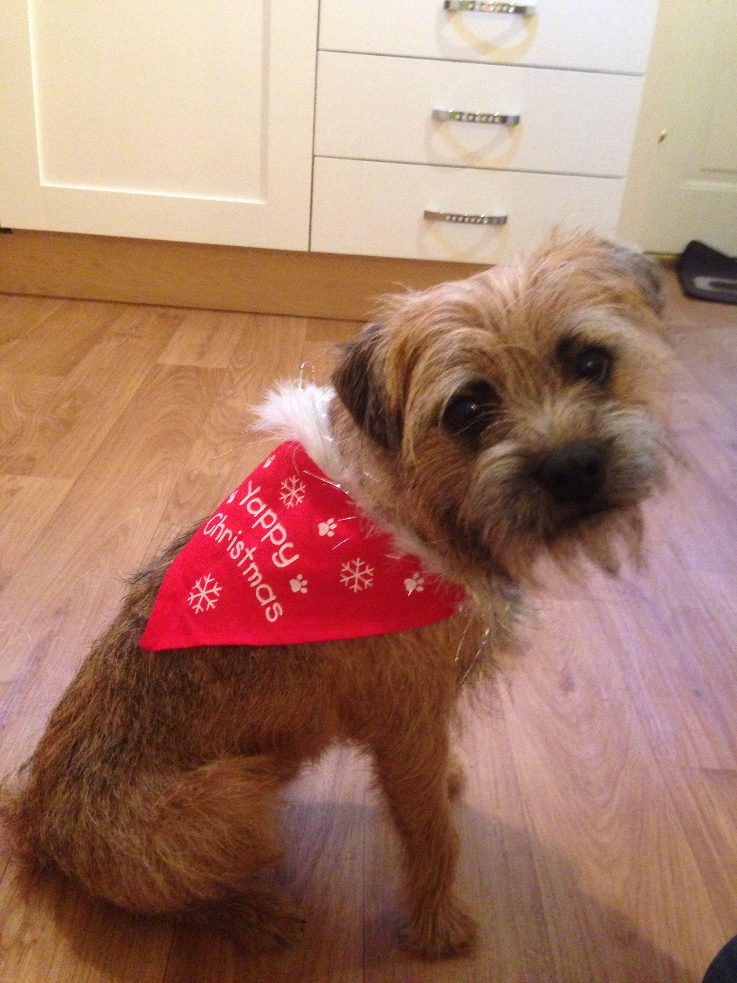 Border Terrier Frank's first Christmas!