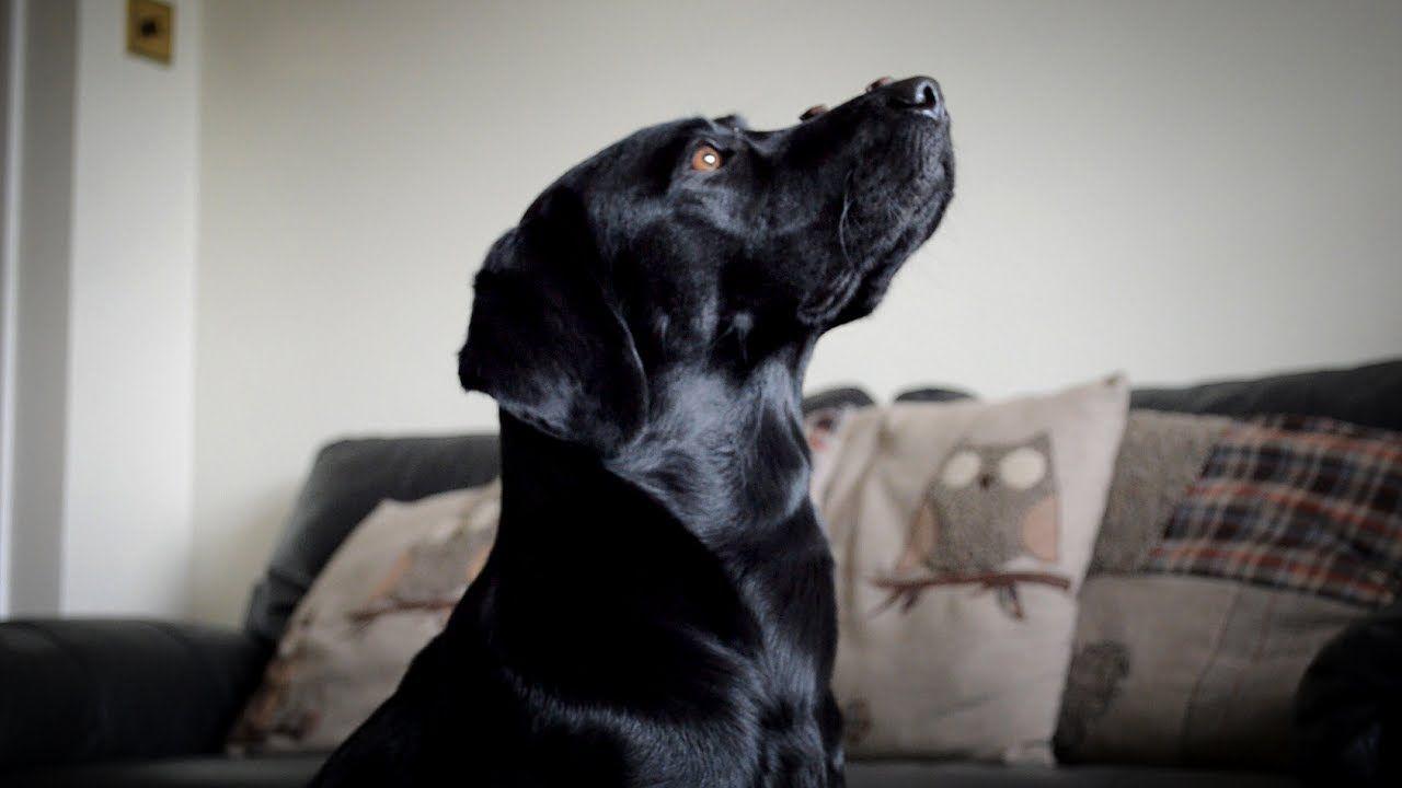 25 Labrador Tricks Talesofa Lab Labradorretriever Chocolate Lab Justlabradors Laboftheday Https Www Youtube Com W In 2020 Labrador Dog Rules Labrador Retriever