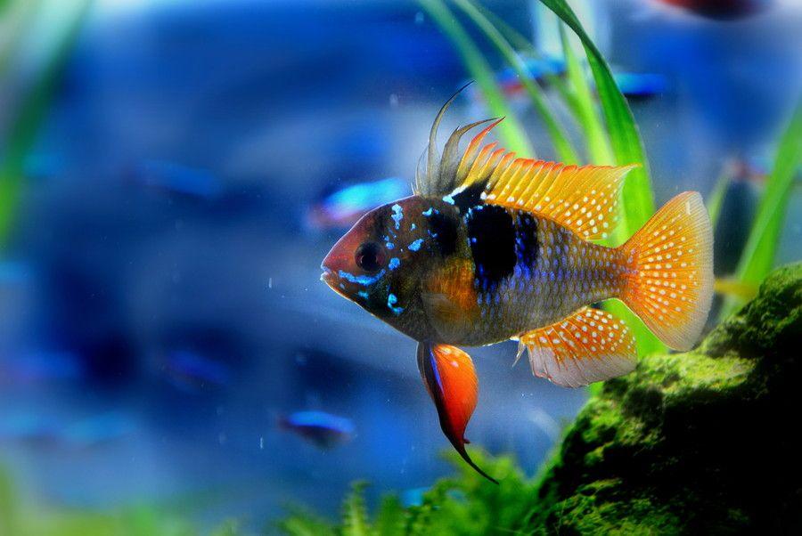 потрясающие фотографии аквариумных рыб миловидная круглолицая