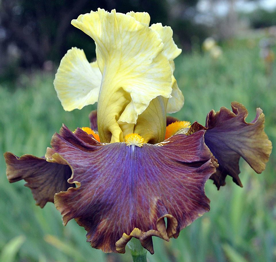 Tb iris germanica 39 i 39 m your man 39 blyth 2015 irises - Iris germanica ...