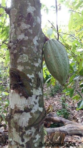 Cocoa fruit (still young)