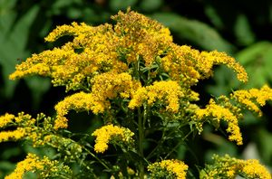 How To Grow And Care For Goldenrod Plants Goldenrod Flower Flowers Perennials Plants