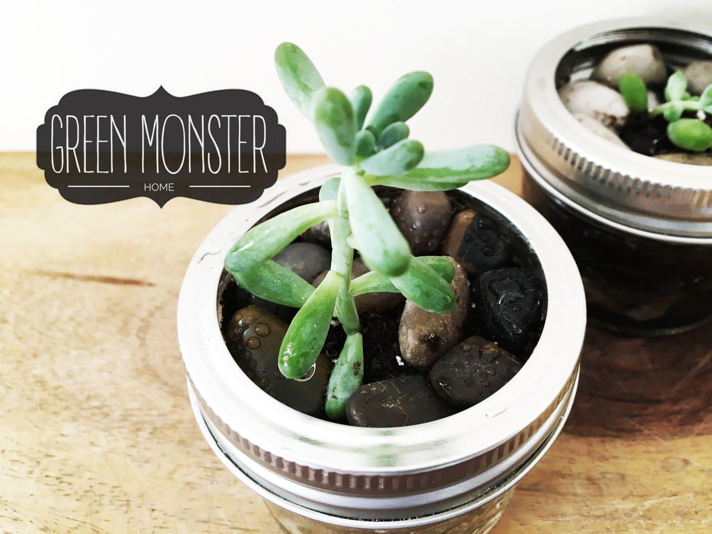 Live Succulent Plant Jelly Bean Plant For Your Desk Plants Etsy Planting Succulents Jelly Beans Bean Plant