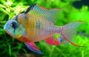 Fresh Water Aquarium Fish These Are Colorful But Will Run Anything