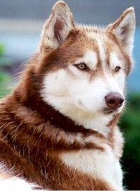 Husky Copper Red Siberian Husky Husky Siberian Husky