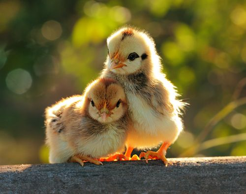 Best 25 Baby Chicks Ideas On Pinterest Baby Chickens
