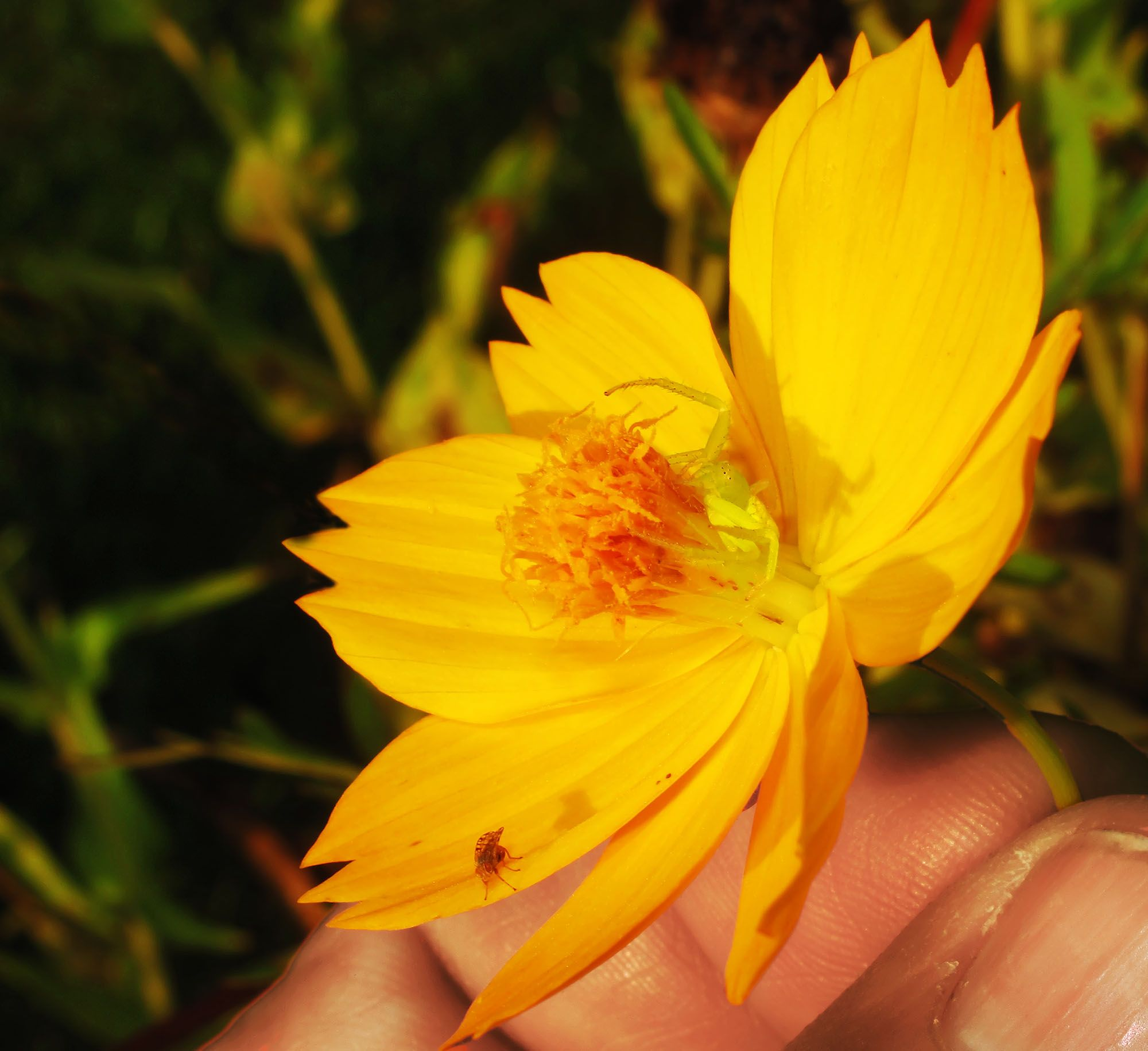 Displaying 17 images for yellow jasmine flower tattoo yellow displaying images for yellow jasmine flower tattoo izmirmasajfo Images