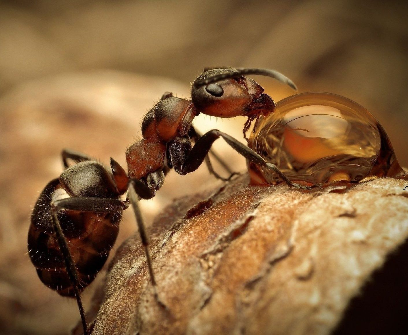 ant drinking water close up animals pinterest drinking water