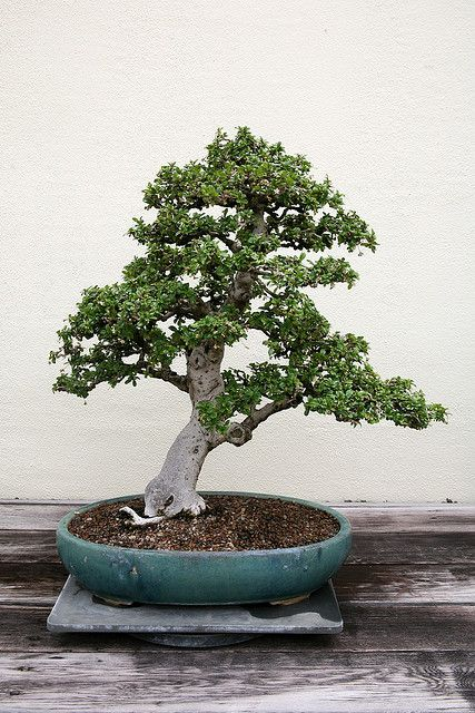 Fukien Tea Carmona Retusa Bonsai Japanese Plants Bonsai Garden