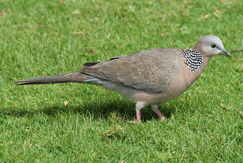 Spotted Dove Hawaii   dove eurasian collared dove inca dove mourning dove spotted dove