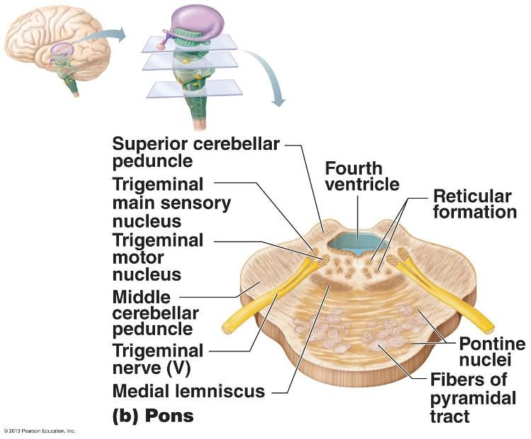 Cross Sections Through Different Regions Of The Brain Stem The