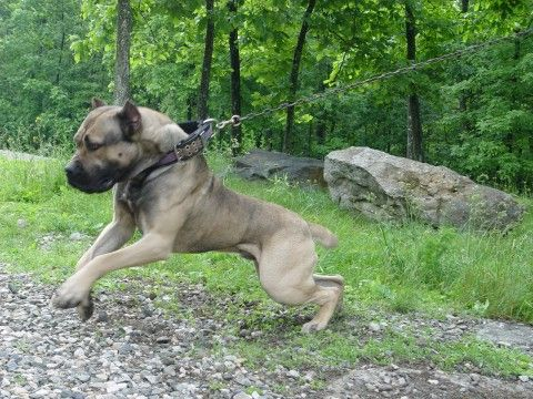 Bandog From Thunderdome Kennels Dogs Dogs American