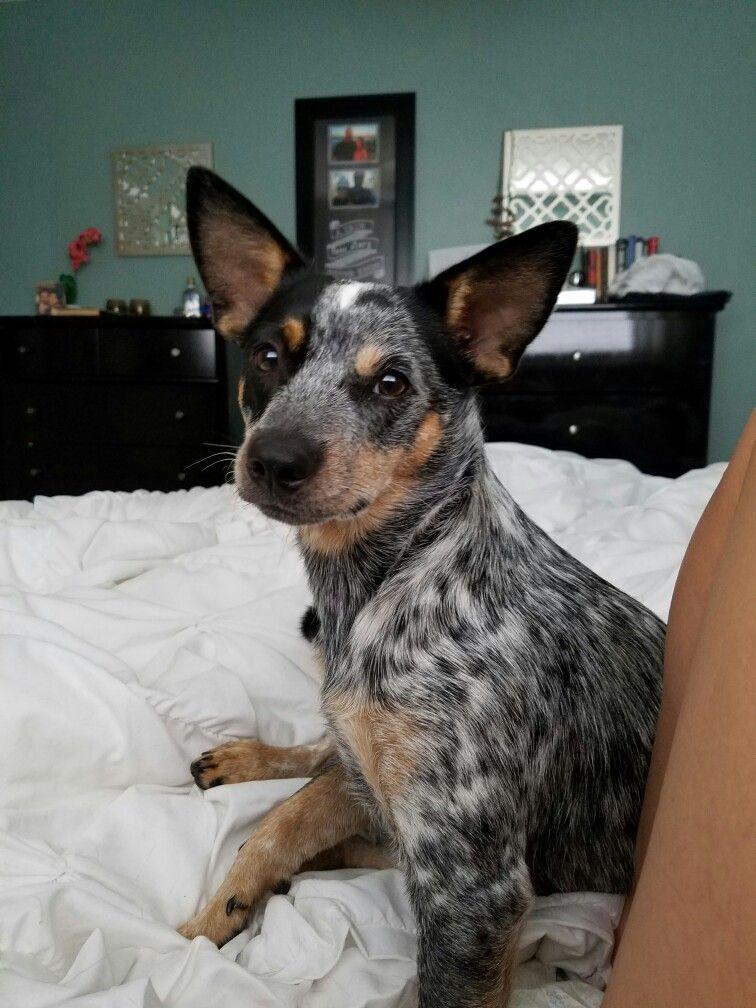 Biscuit Chihuahua Blue Heeler Mix Blue Heeler Heeler Chihuahua