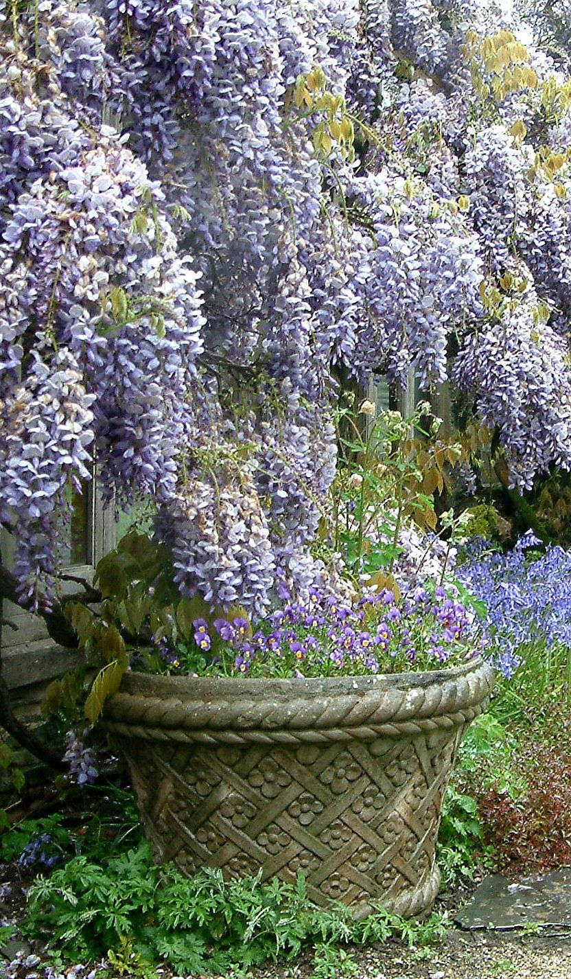 Glyzine Buckland Abbey Devon Uk Foto Sabina Kulicka Wisteria Garden Charming Garden Beautiful Gardens
