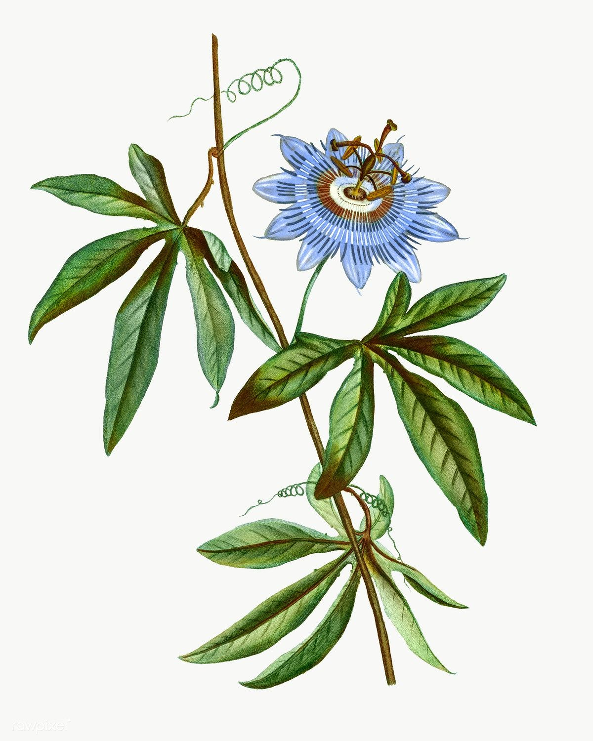 Blooming Blue Passionflower Transparent Png Free Image By Rawpixel Com Passion Flower Flower Drawing Botanical Prints Free
