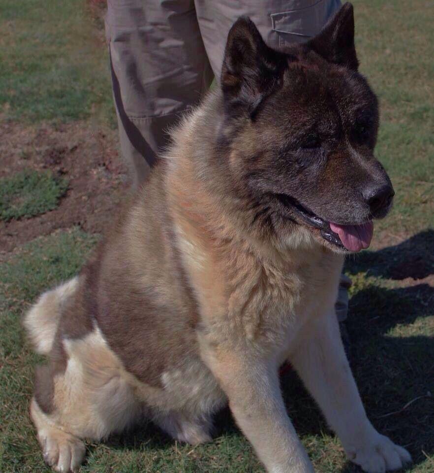 Founddog 92714 Dallas TX Akita male 7 year old