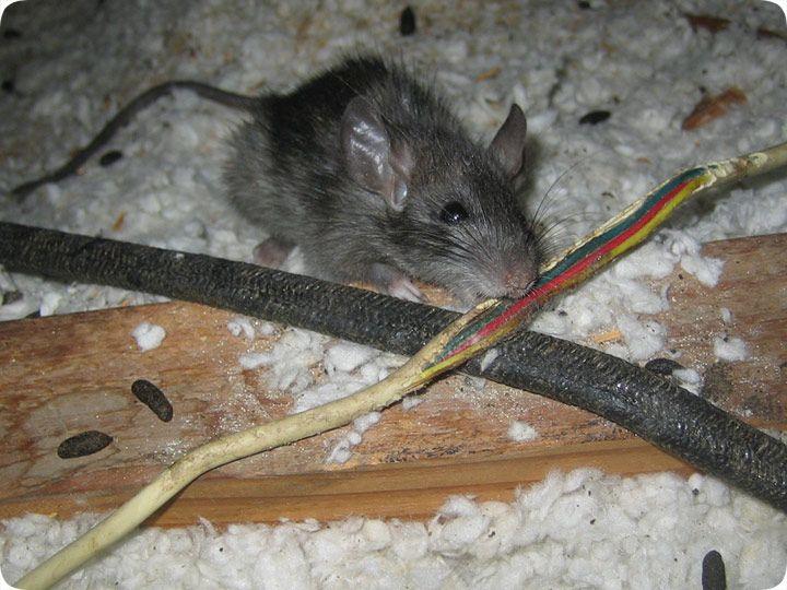 Rats Love To Chew Attic Attic Design Attic Rooms