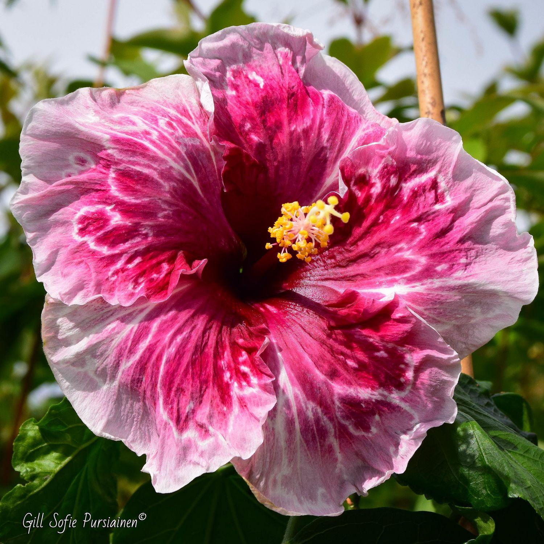 Hibiscus Norway Juliet Tropisk Gartneri Hibiscus Plant Tropical Flower Plants Hibiscus Flowers