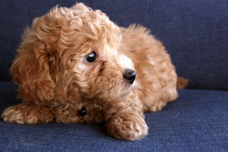 Red poodle puppies for sale near me