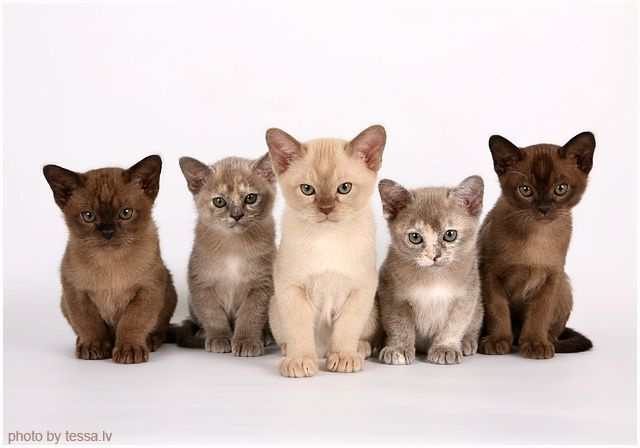 El Loriell Onn M Kaa A Ni Burmese Kittens Cute Cats Baby Cats