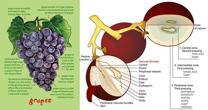 Grapes Anatomy