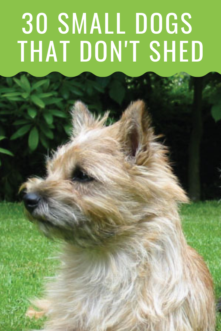 A List Of Small Dogs That Don T Shed Unbelievable But True Best