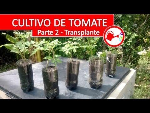 Cultivo de Tomate Parte 2 - Como plantar tomates espectaculares en casa paso a paso - YouTube