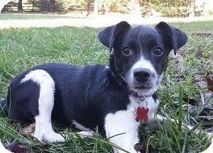 Pointer Border Collie Named Tickles Maryland Here I Come