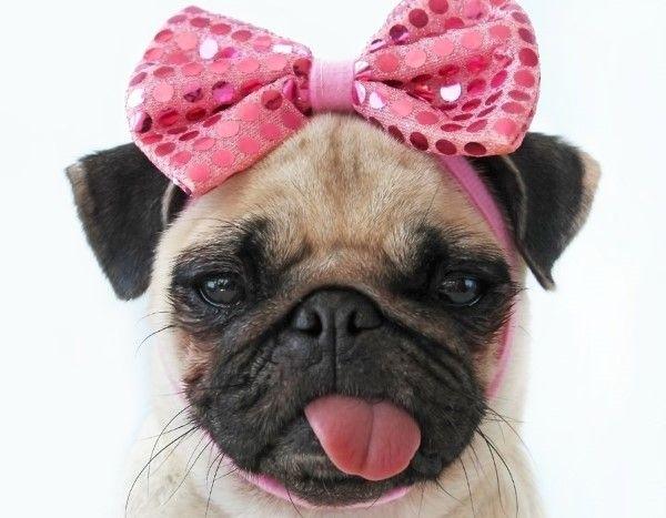 Gato C Getty Images Perro Pug Bebes Pugs Adorables Amor Pug