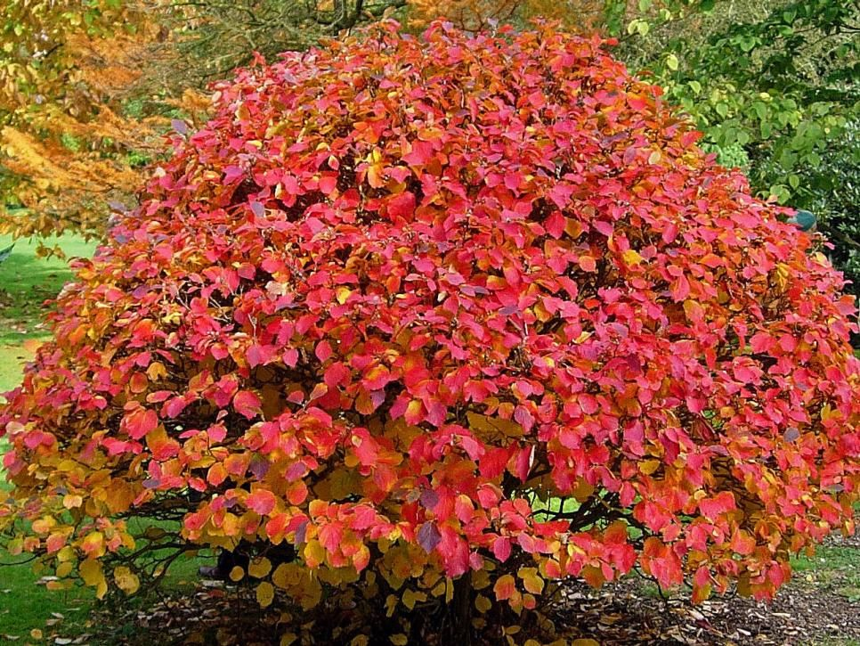 Add Some Color To Your Yard S Sunny Areas With Low Maintenance Shrubs Flowering Shrubs Flowering Shrubs For Shade Shade Shrubs