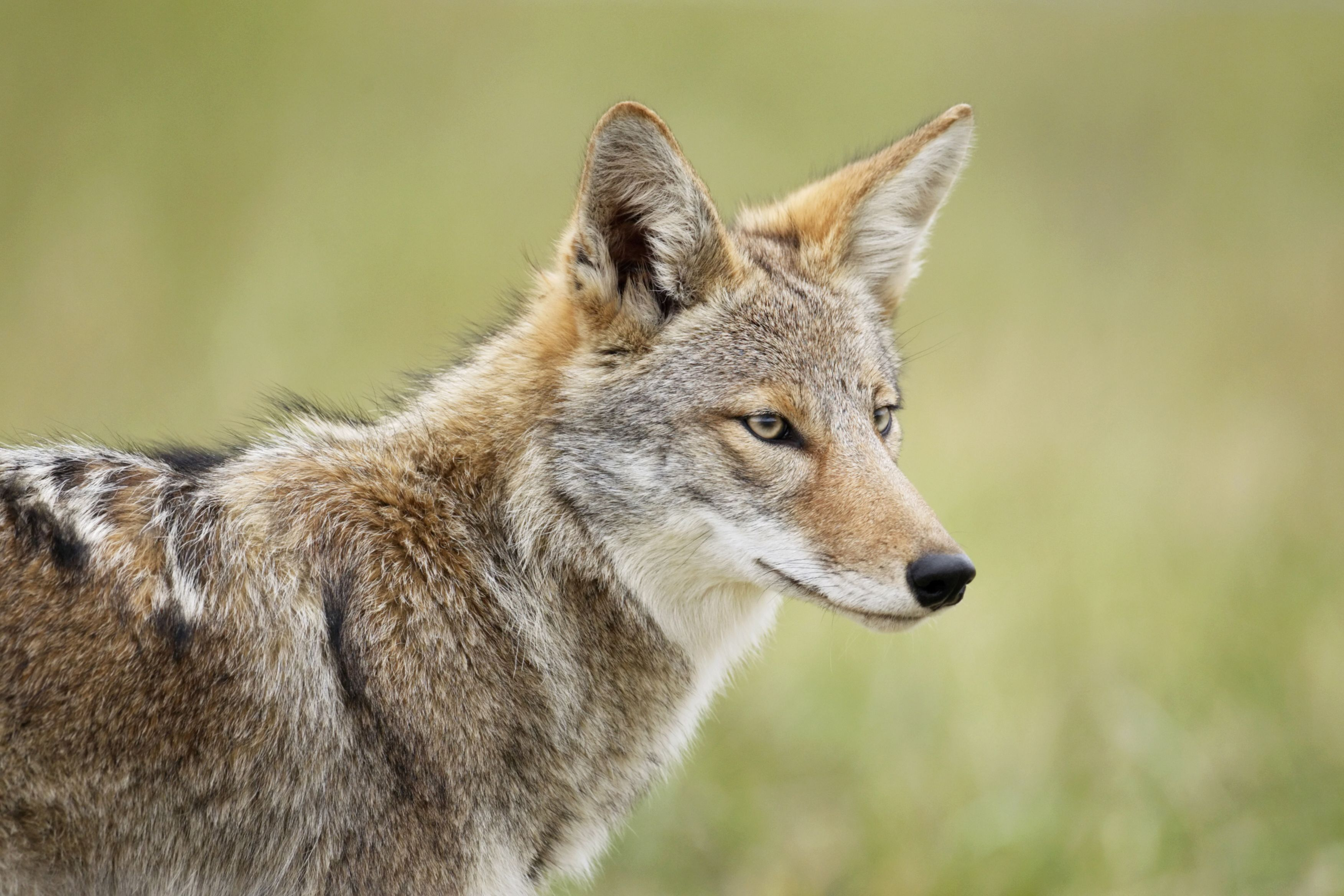 A close up of a coyote in the smoky mountains wildlife