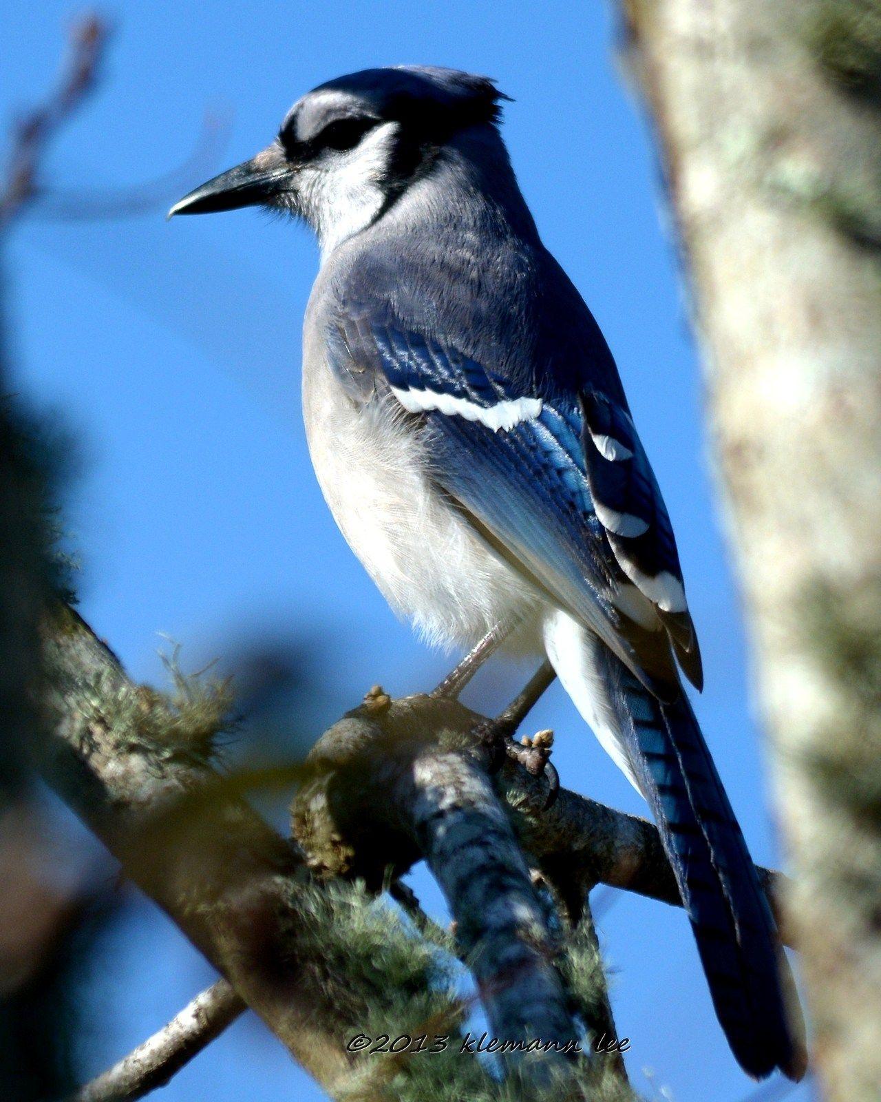 Blue Jay - Portrait day