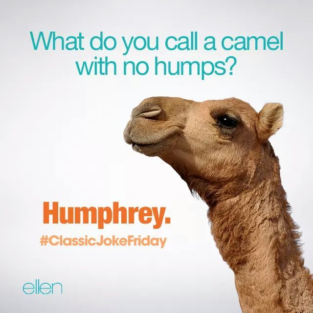 What do you call a camel with no humps?