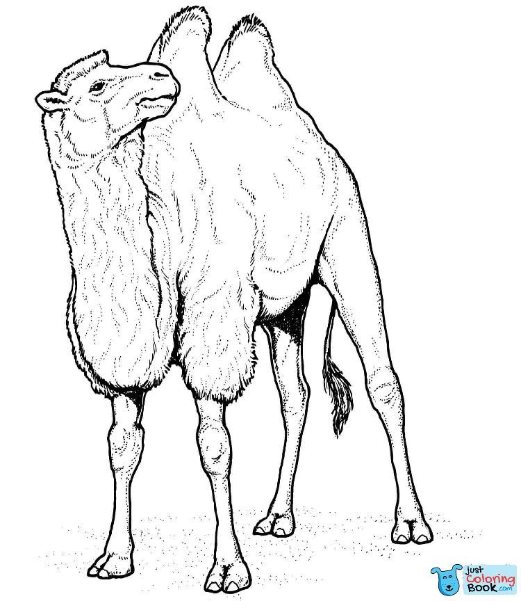 Camels Coloring Pages Bet
