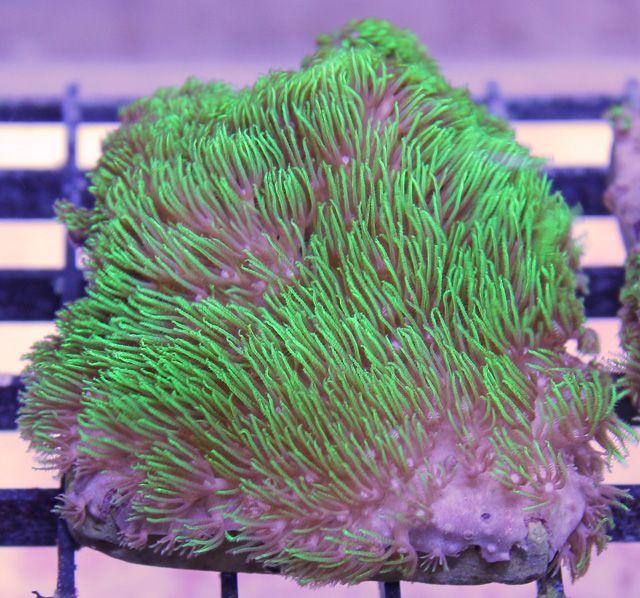Aquacultured Metallic Green Star Polyps CoralAquacultured Metallic Green Star Polyps Coral   Marine Life  . Green Star Polyp Lighting Requirements. Home Design Ideas
