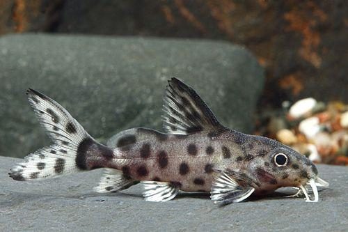 Syno Eupterus X Granulosus Cat Hybrid Reg Synodontis Eupterus X Synodontis Granulosus Hybrid Cat Aquarium Fish Tropical Freshwater Fish