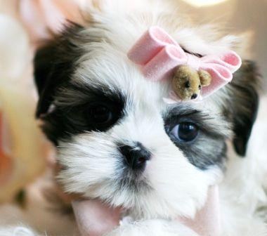 Shihtzu Puppies Tumblr Lifecommunity Favorites From Pin Board
