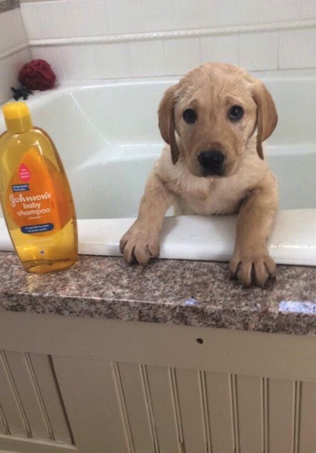 17 Puppies Who Just Had Their First Bath I 3 Yellow Labs Cute